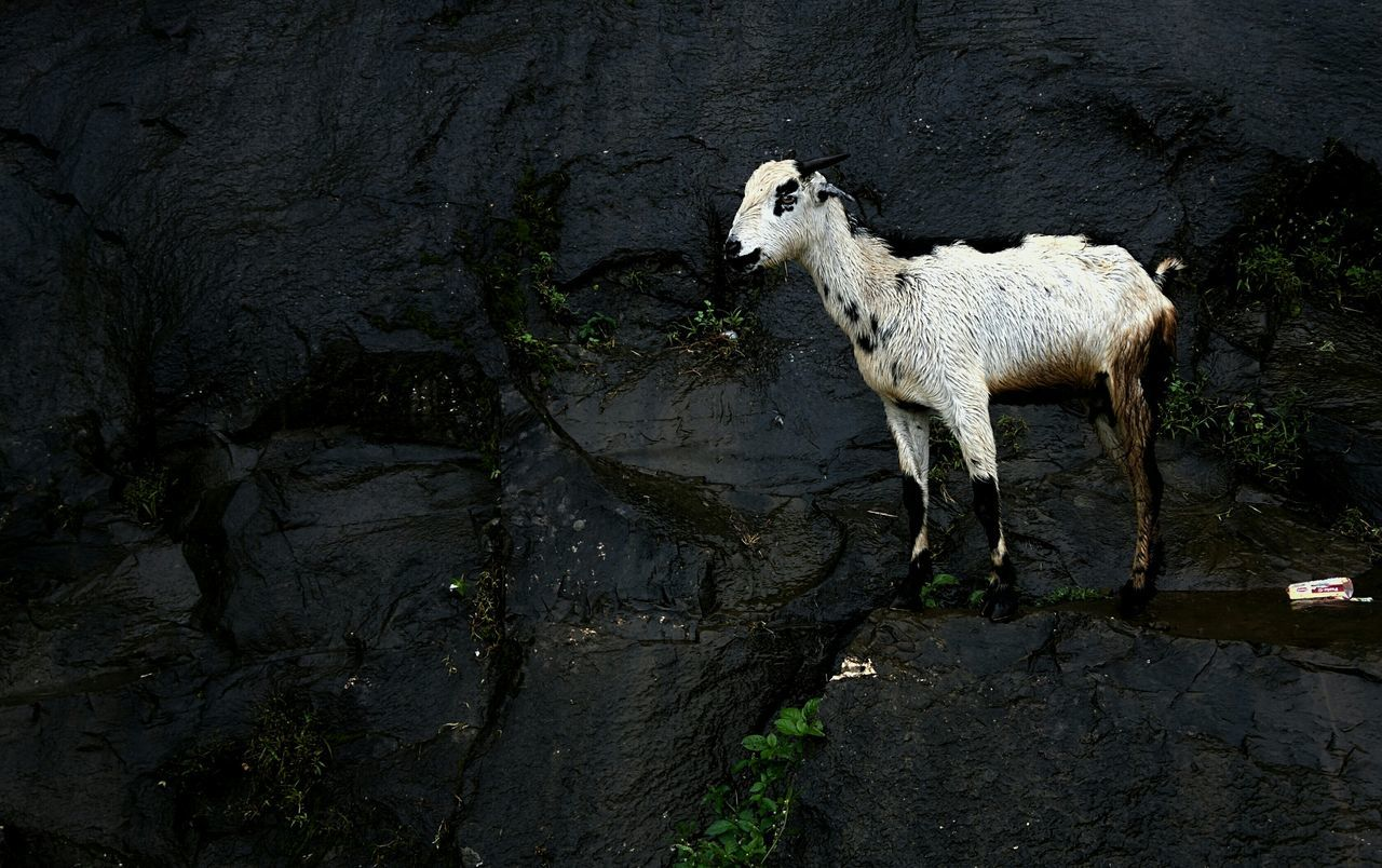 Mountain Goat Mountain Goat Trimbakeshwar Rain Mountain_goat Nashik Hills Wet Leaves Rock