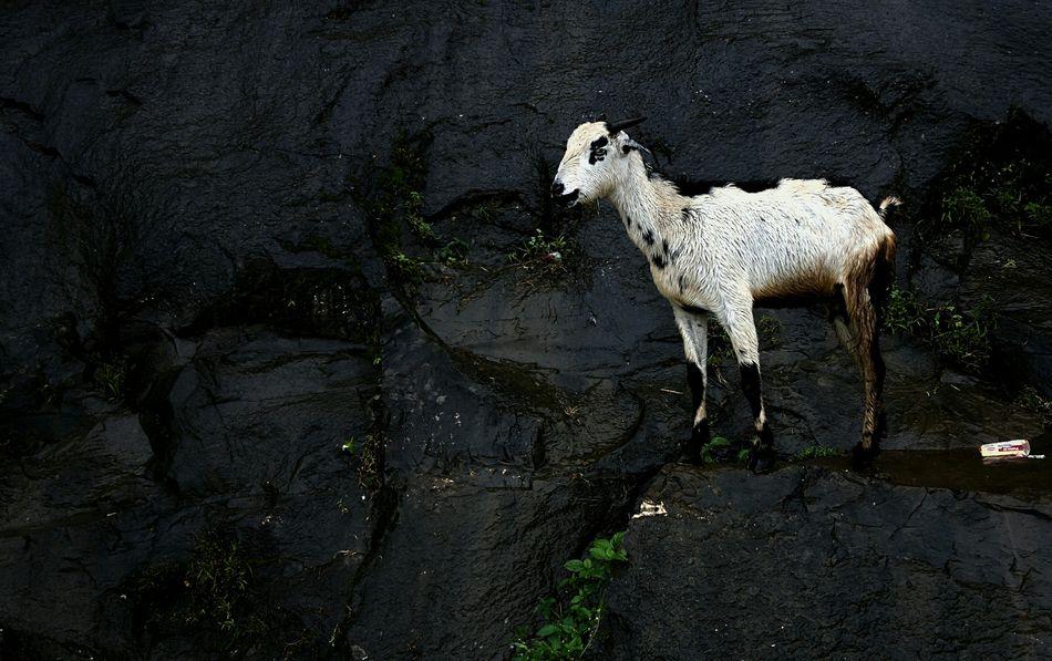 Mountain Goat Mountain Goat Trimbakeshwar Rain Mountain_goat Nashik Hills Wet Leaves Rock