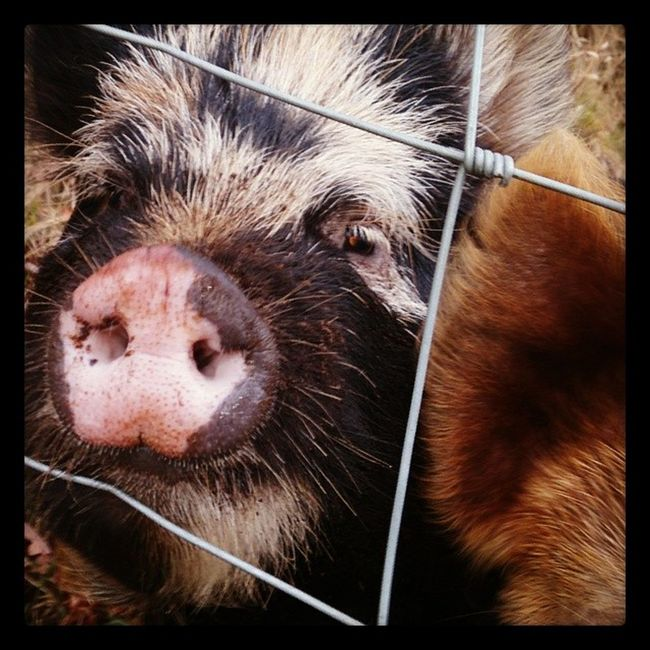 Piggy!!! Pig Oink Awesome Farm Wantbacon Mmmmbacon Hungry Instapig