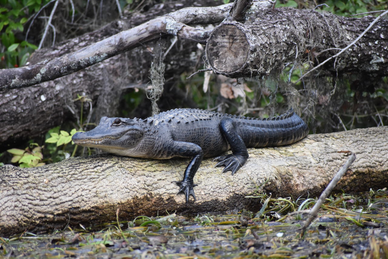 Alligator Alligator Animal Themes Animal Wildlife Animals In The Wild Beauty In Nature Crocodile Day Florida Gators Nature Nature Nature_collection No People One Animal Outdoor Photography Outdoors Outside Reptile Reptile Reptiles Silver Springs State Park Swamp Swamp Life Tree