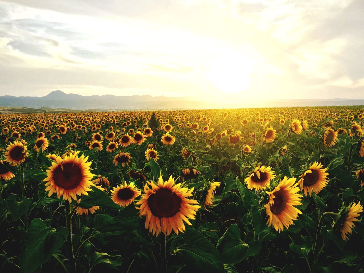 The Great Outdoors - 2015 EyeEm Awards The Great Outdoors Golden Hour Auvergne IPhoneography Myauvergne Chainedespuys Sunflowers Sunflowers🌻