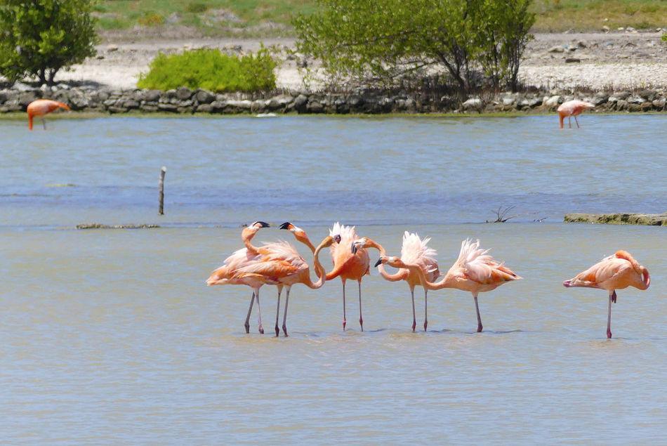 Animal Wildlife Animals In The Wild Beauty In Nature Birds Of EyeEm  Birds_collection Curacao Flamingo Jan Kok Baai No People Vacation Destination