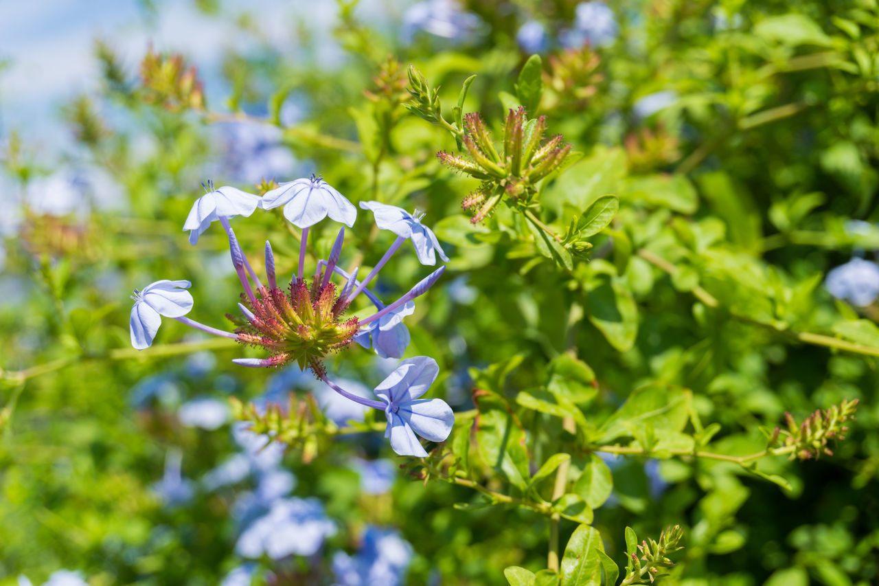 Close-up of beautiful Blue Flowers in Summer Beauty Blooming Blue Branches Cape Leadwort Cape Plumbago Close-up Flowers Garden Green Growing Growth Nature Plants Plumbaginaceae Plumbago Auriculata Season  Summer Sunlight
