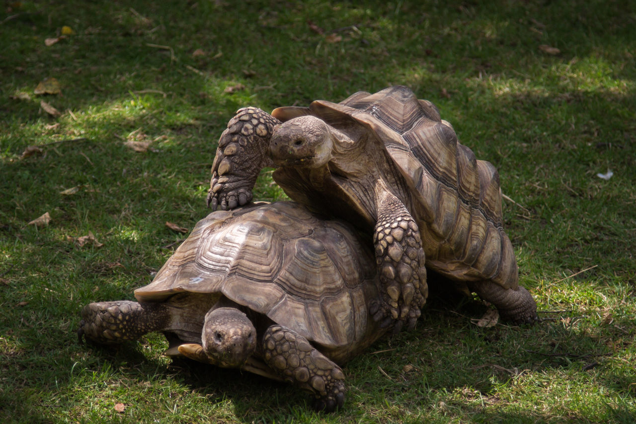 Animal Themes Animal Wildlife Animals In The Wild Day Grass Nature No People One Animal Outdoors Reproduction Reptile Tortoise Tortoise Shell