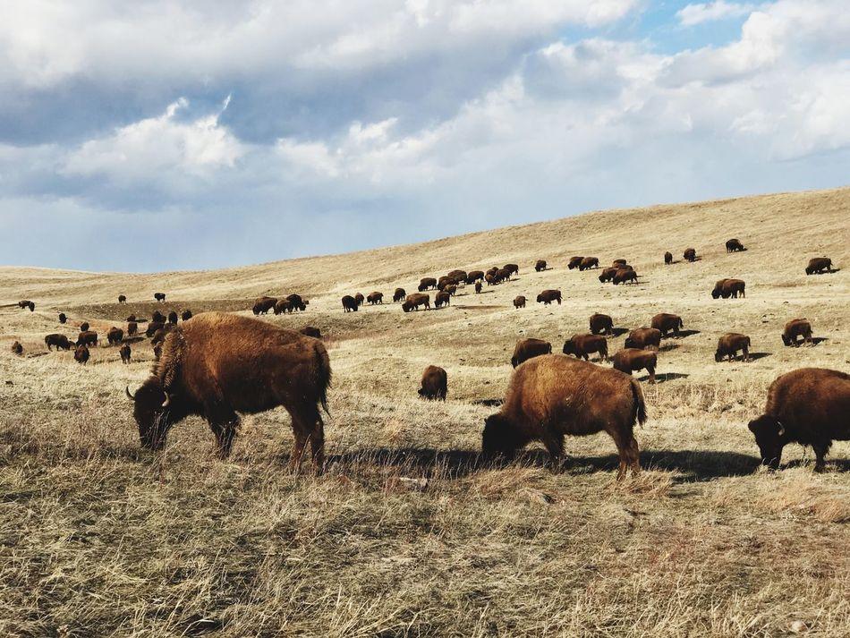 Buffalo Tatanka