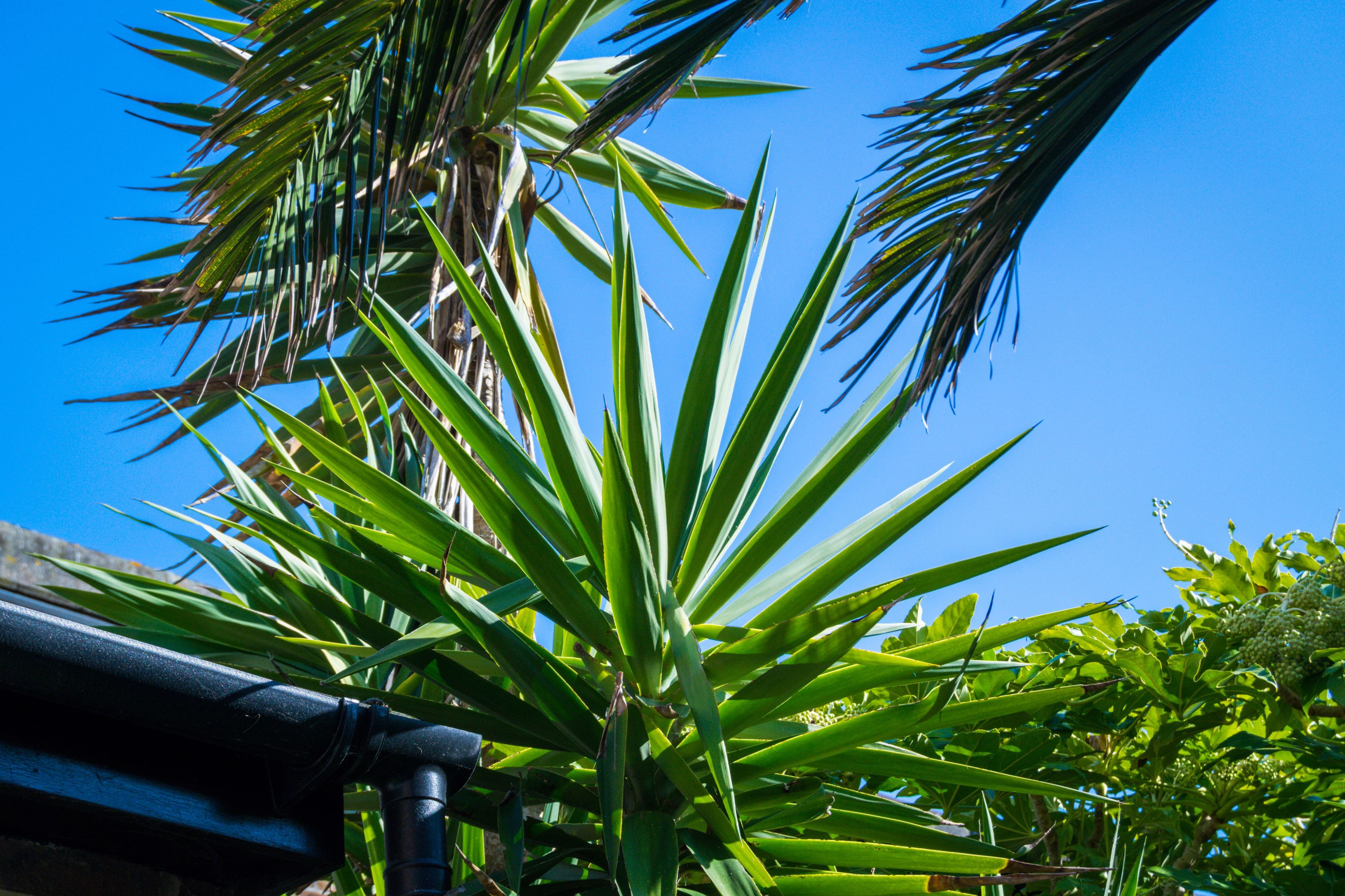growth, palm tree, tree, low angle view, nature, green color, no people, sky, clear sky, day, outdoors, beauty in nature, close-up, palm frond