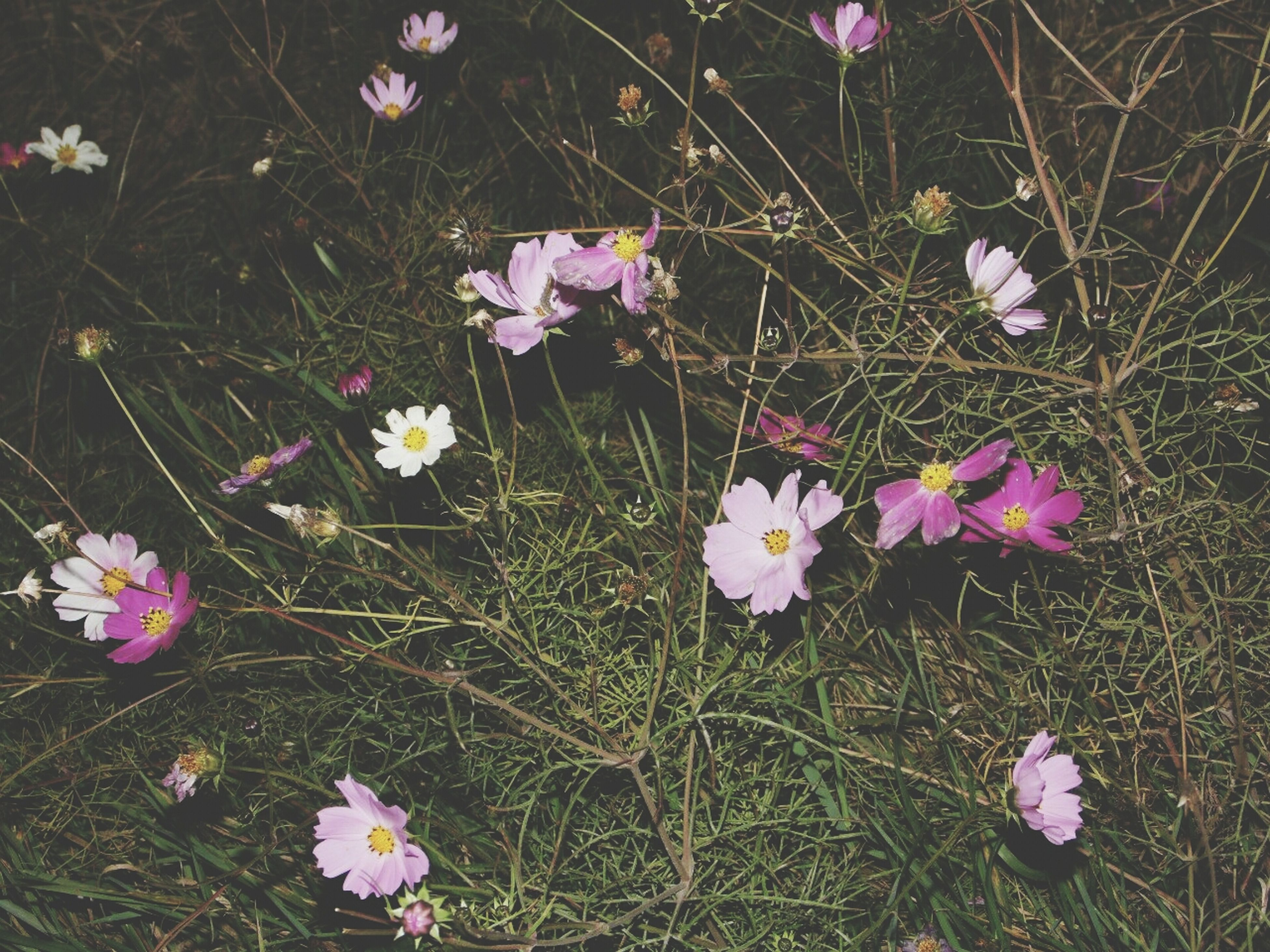 flower, freshness, petal, fragility, growth, beauty in nature, grass, field, flower head, blooming, nature, plant, pink color, high angle view, in bloom, meadow, stem, blossom, purple, day