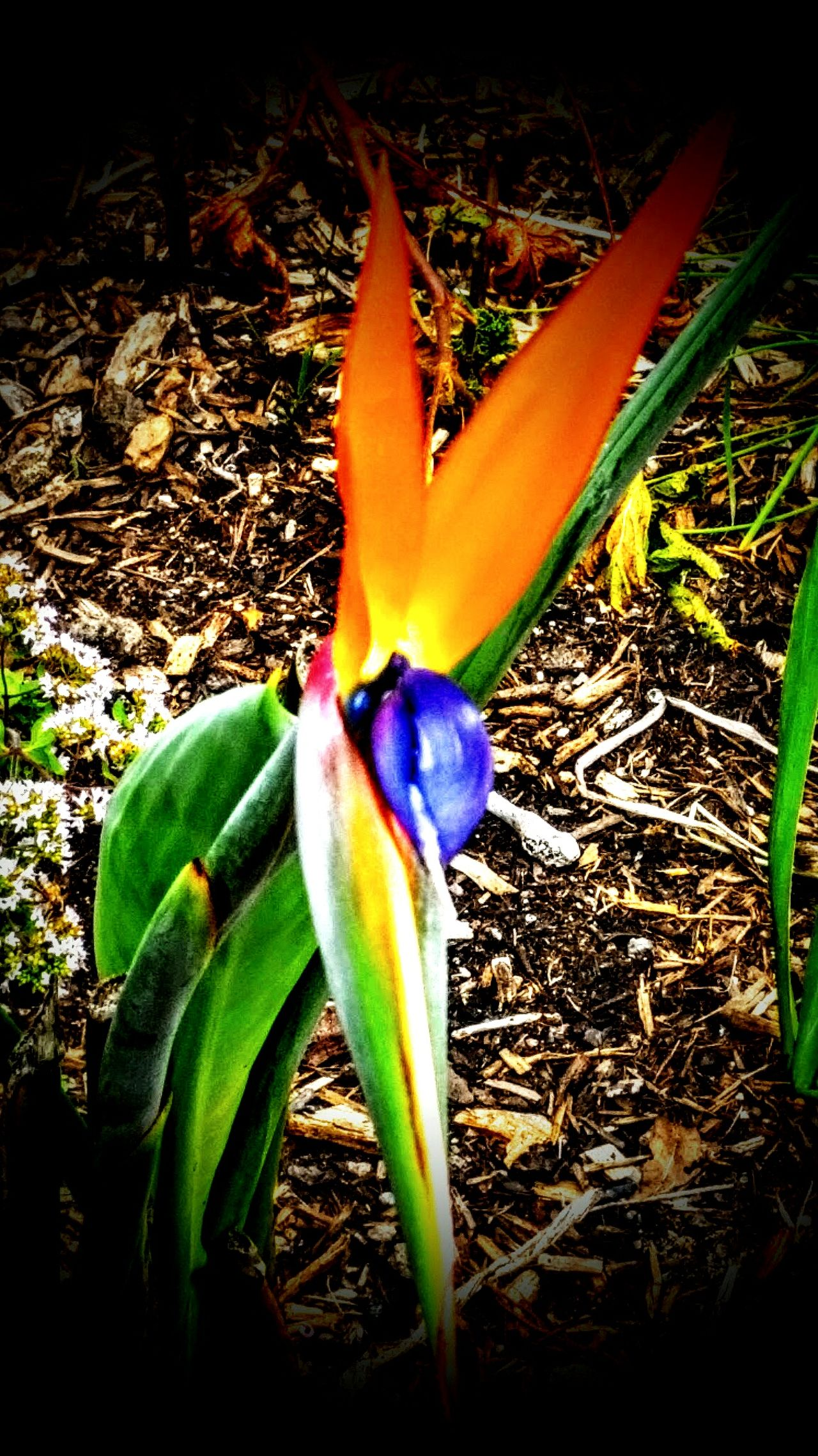 Beauty In Nature Flower Outdoors No People Bird Of Paradise - Plant Blooming Nature Photography Day Freshness Fragility