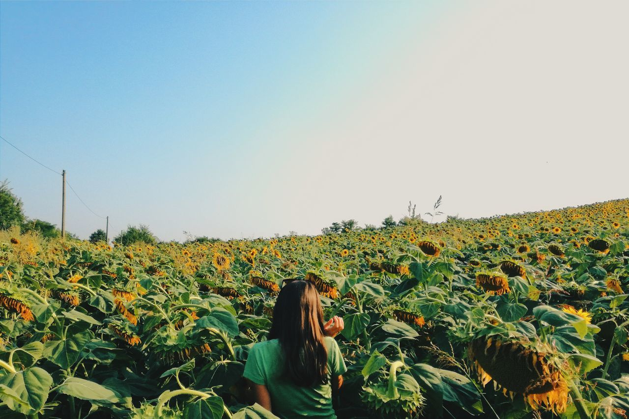 Beautiful stock photos of sunflower, Abundance, Agriculture, Beauty In Nature, Casual Clothing