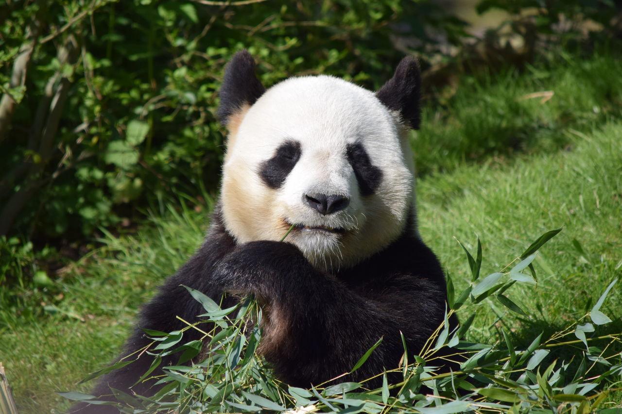 one animal, animal themes, animals in the wild, mammal, giant panda, bear, panda - animal, panda, grass, wildlife, animal wildlife, day, nature, no people, outdoors, bamboo - plant, plant, sitting, endangered species, eating, close-up