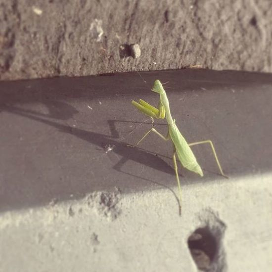 Pray1 Christophography Praying Mantis Parking Lot Insects
