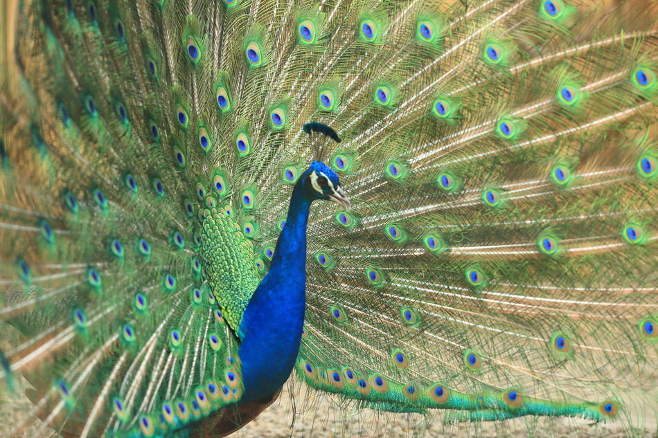 peacock Animal Themes Animal Wildlife Animals In The Wild Beauty In Nature Bird Blue Close-up Dancing Day Fanned Out Feather  Nature No People One Animal Outdoors Peacock Peacock Blue Peacock Feather Peacockphotos Showing Off