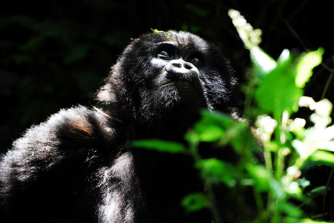 Parc National des Volcans, Rwanda Animal Hair Animals In The Wild Ape Beauty In Nature Close-up Gorilla Green Green Color Look Looking Lookingup Mammal Mountain Gorilla Nature One Animal Primate Rwanda Selective Focus Wild Wildlife Zoology