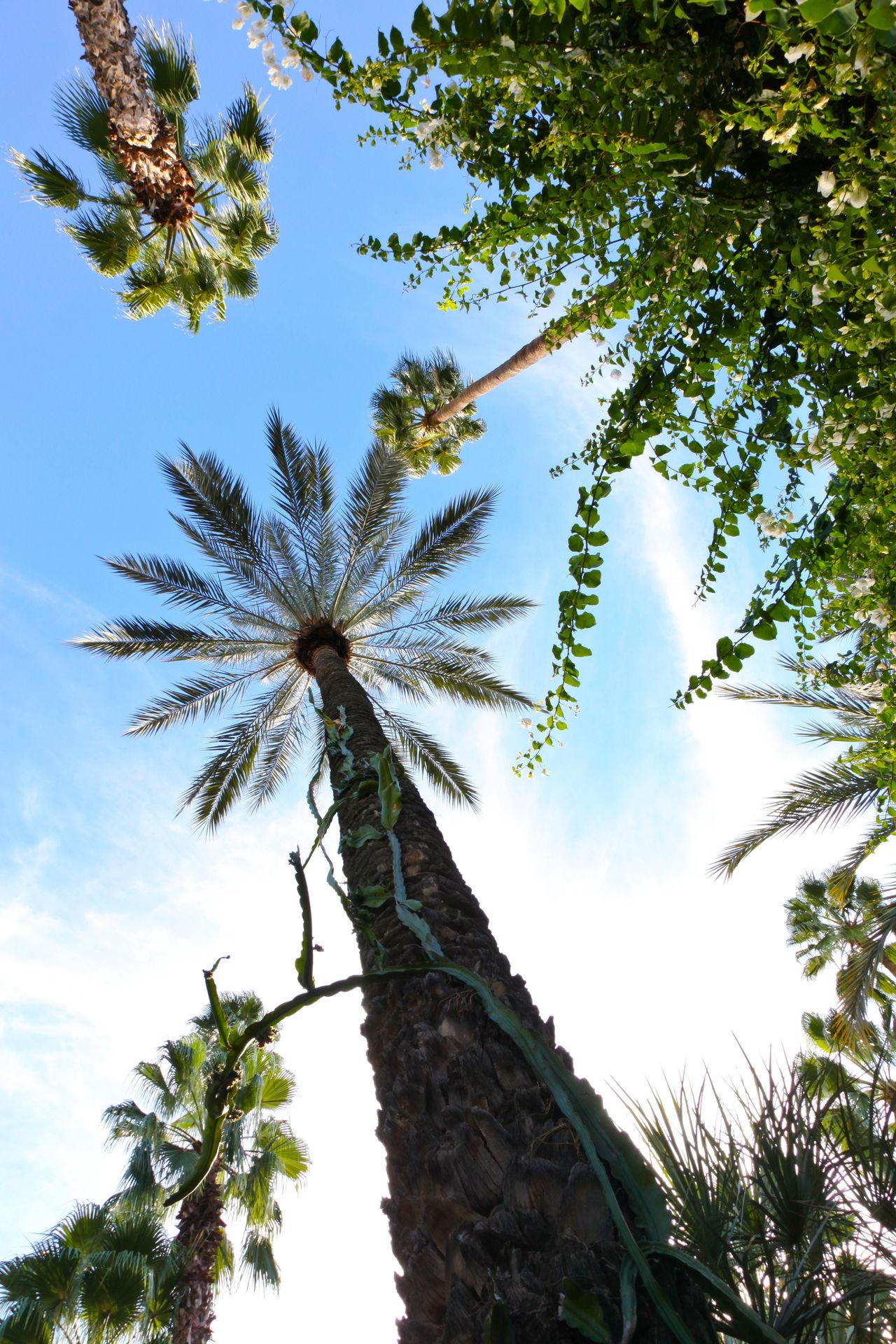 Up Greenery Lush Exotic Palm Tree Tree Shrub Vine Towering Foliage Flora Undergrowth Hot Blue Sky Maroc Morocco Marrakesh Marrakech Garden Nature Majorelle