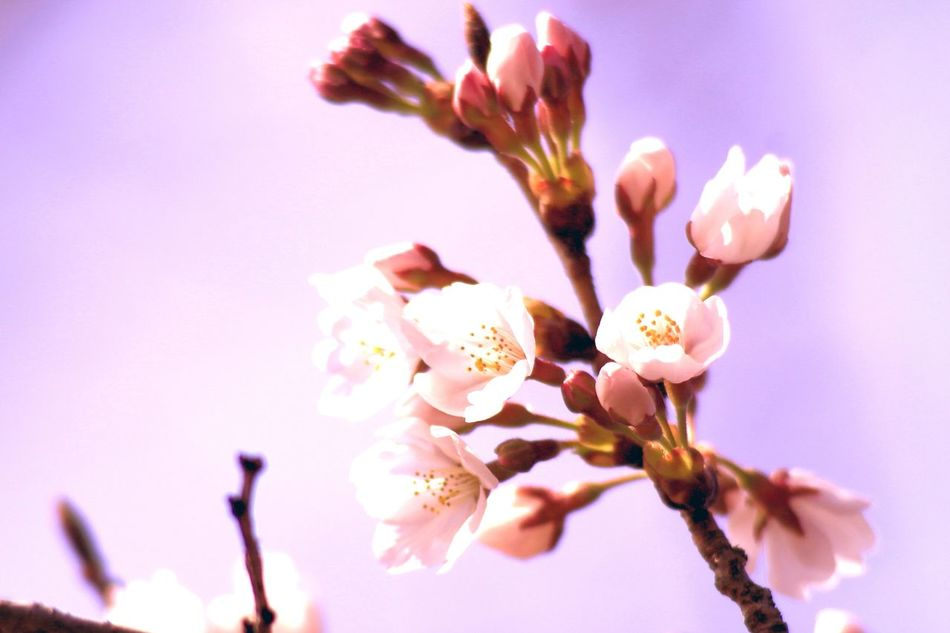 Cherry blossom blooming declaration Beauty In Nature Blooming Declaration Cherry Blossoms Close-up Day Flower Flower Head Fragility Freshness Growth Japanese Cherry Tree. Millennial Pink Nature No People Outdoors Petal Pink Color Sky Springtime