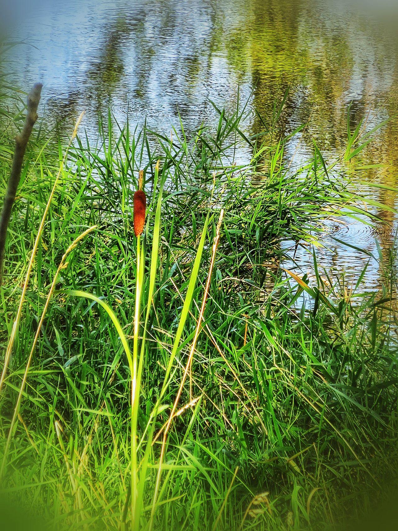 Cattail 10460058 Swamp Photos Beautiful Nature