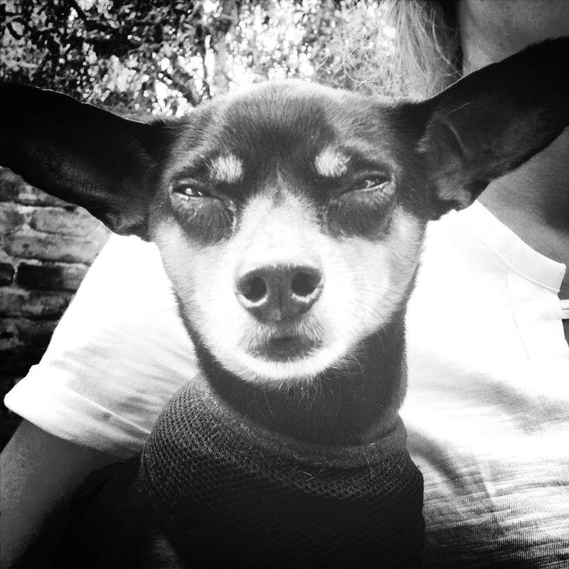 russian mini terrier A Small Dog