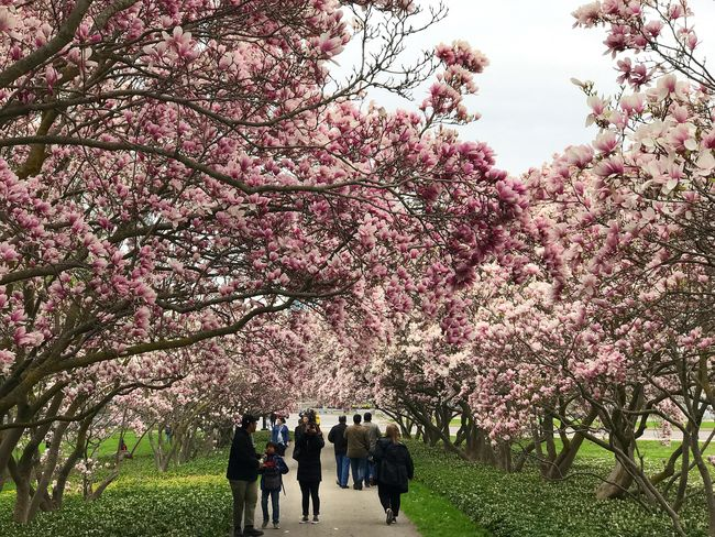 Tree Blossom Flower Springtime Beauty In Nature Growth Pink Color Branch Nature Fragility Freshness Walking Outdoors Scenics Magnolia Magnolia Tree Magnolia_Blossom Magnolia Flower Magnolias Blooming Path Pathway Spring Spring Flowers