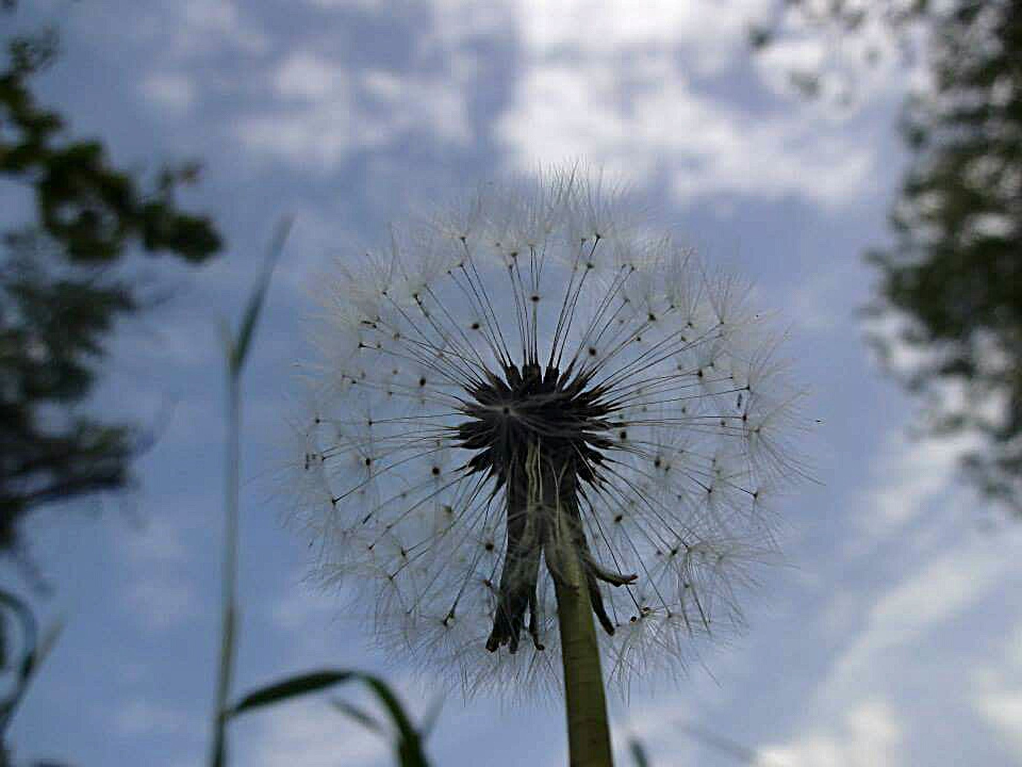 dandelion, flower, sky, focus on foreground, growth, fragility, close-up, stem, nature, beauty in nature, cloud - sky, flower head, plant, softness, day, outdoors, uncultivated, no people, cloudy, cloud, tranquility, botany, selective focus, weather