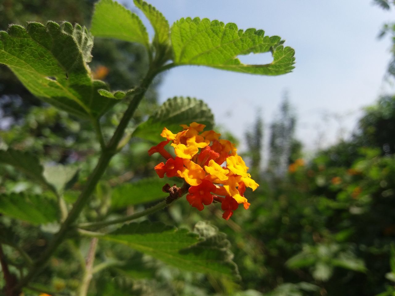 flower, growth, plant, fragility, nature, freshness, beauty in nature, outdoors, focus on foreground, day, leaf, petal, green color, no people, lantana camara, flower head, park - man made space, close-up, blooming