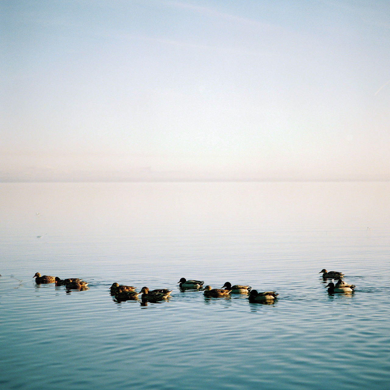A flock of ducks enjoy an unusually tranquil Lough Neagh on Boxing Day. Animal Themes Ballyronan Beauty In Nature Boxing Day Day Duck Horizon Over Water Ireland Lough Neagh Nature No People Northern Ireland Outdoors Sea Sky Sunset Tranquil Scene Tranquility Water Waterfront