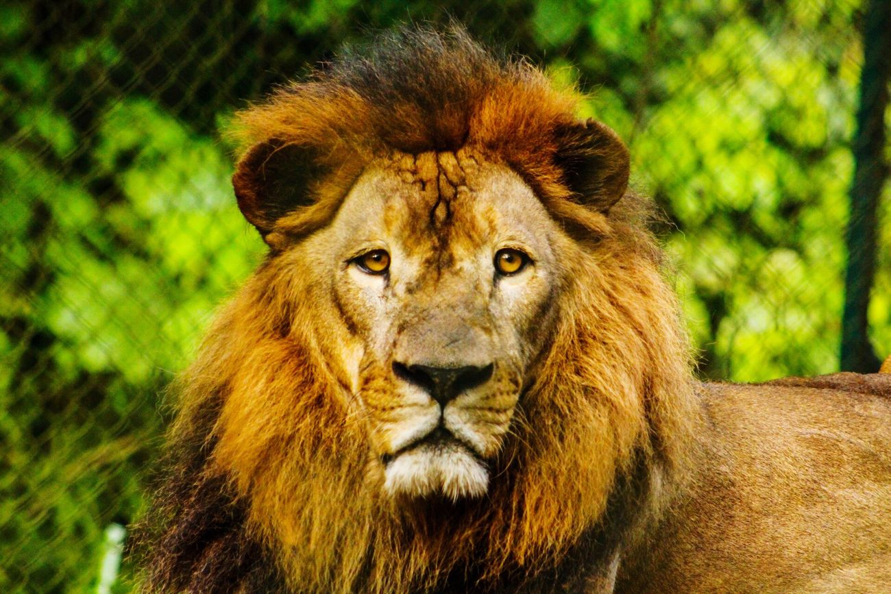 Fureza' Zoo, Jayaque, El Salvador Portrait Lion - Feline Animals In The Wild One Animal Animal Themes Big Cat Front View Carnivora Outdoors Fureza Private Zoo Beauty In Nature Zoo Zoophotography No People Zoo Animals  Mammal Nature