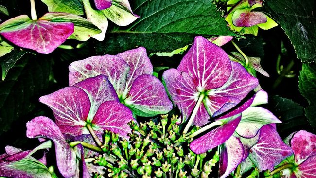 Hortensia Hortensie Blossoms  Plant Flower Close-up Flower Head Flowers Flowerporn Flowers,Plants & Garden Flowers, Nature And Beauty Flower Collection EyeEm Best Shots EyeEm Best Shots - Nature Epic Shot Photography Nature Photography EyeEmBestPics Awesome_nature_shots Eye4photography  Awesome_shots Naturephotography Naturelovers Nature_collection EyeEm The Best Shots Beautiful Nature
