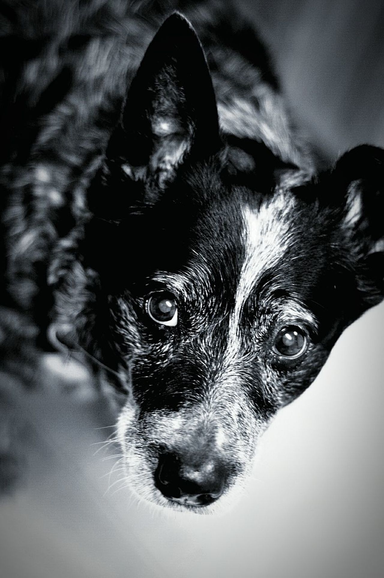 Pets Animal Themes Dog One Animal Close-up EyeEm Blue Heeler Eyeem Market Fine Art Eyeem Marketplace EyeEm Gallery Growth Black & White Black And White Photography Black And White Collection  Dogs Of EyeEm Dogslife Dogs Mans Best Friend Australian Cattle Dog Animals Collection Love Family Pet Best Of EyeEm EyeEmNewHere The Portraitist - 2017 EyeEm Awards