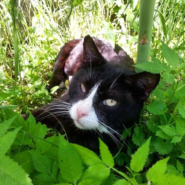 Noodles, guardian of the asparagus. Cats Catsofcleveland Catsofinstagram Catshardlife Caturday neko kitteh kitty tuxedocat cleveland instapets Pets Corner