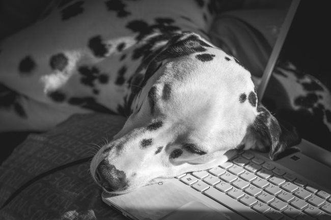 Domestic Animals Dog Pets EyeEm Best Shots Dalmatian Canon80d Dalmatianpuppy Dal Dalmatiansofinstagram Taking Photos Lightroom6 Snowflakethedalmatian This Week On Eyeem Petsofeyeem Pets Of Eyeem Vscopets Dalmatians Eyemphotography Dogs Of EyeEm Capture The Moment EyeEm Best Edits Week Of Eyeem Dogs Vscogood Ukdogs