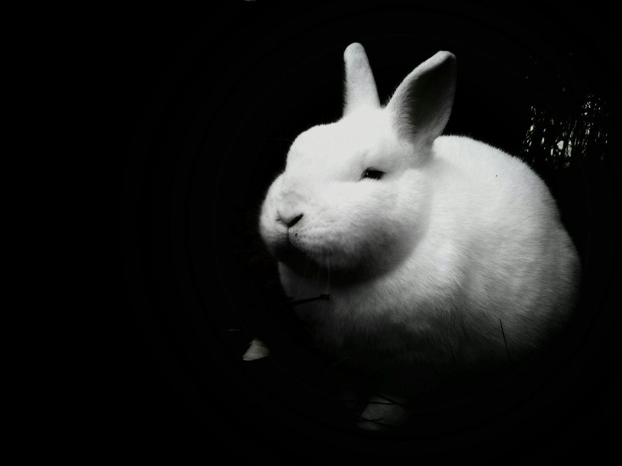 Beautiful stock photos of rabbit, Animal Head, Animal Themes, Black Background, Close-Up