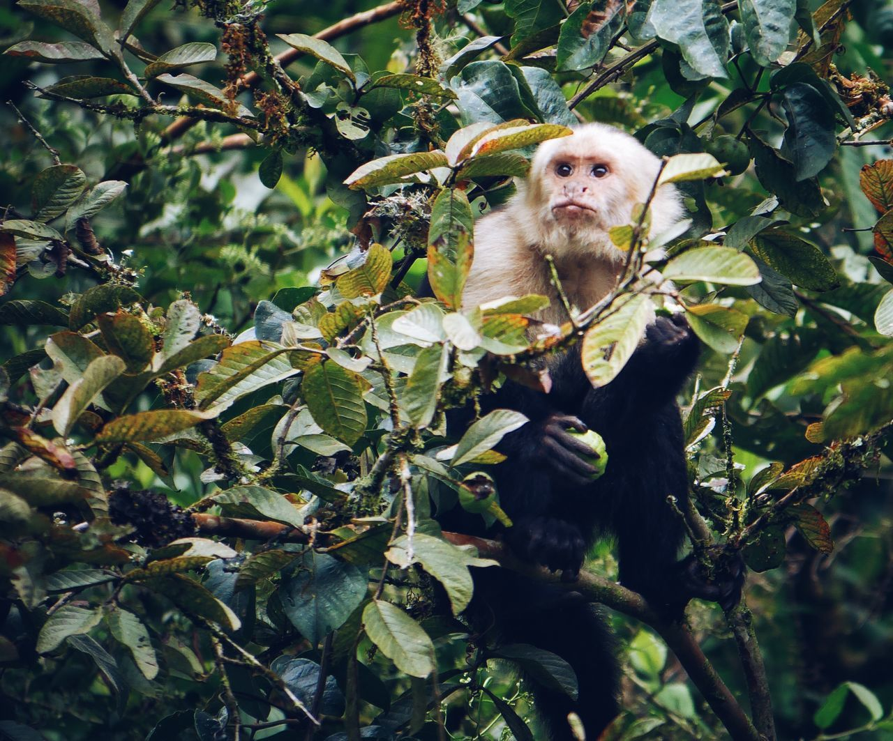 White-Faced Monkey Visiting our yard Hanging Out Relaxing Enjoying Life Costa Rica VSCO