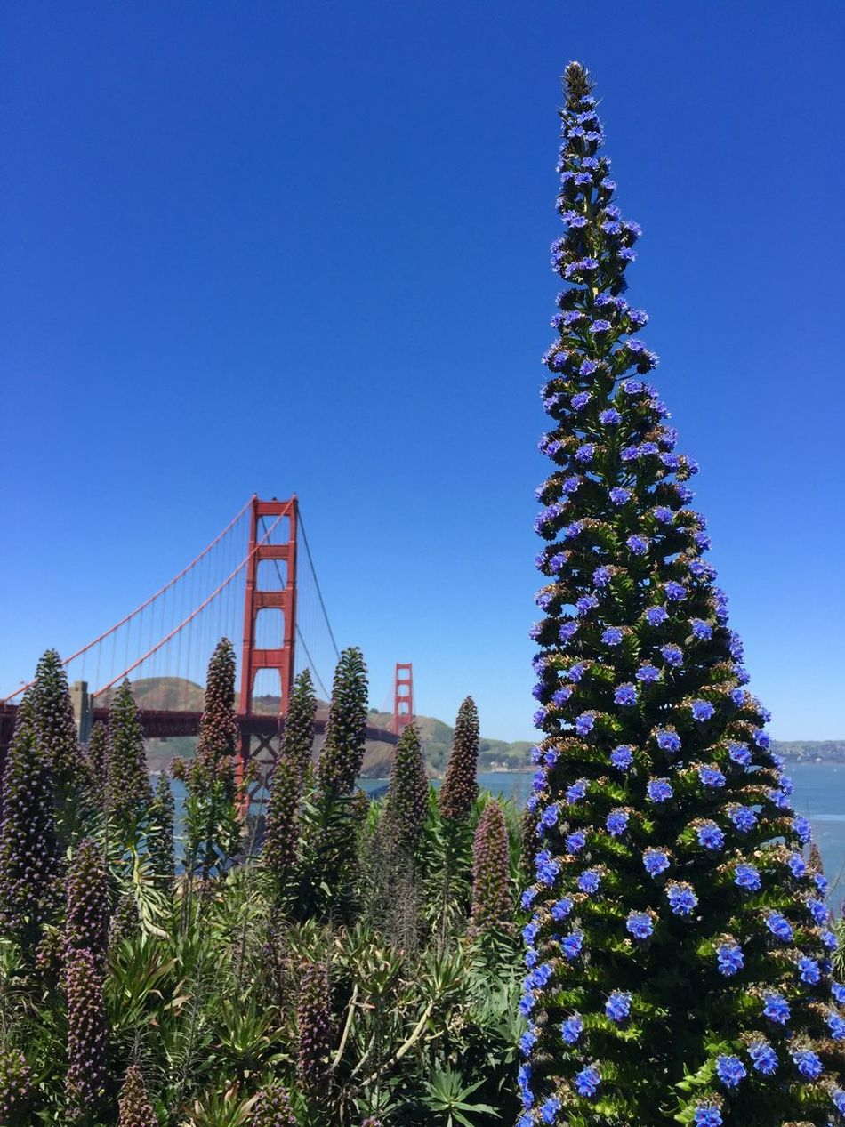 Blue Low Angle View Clear Sky No People Architecture Day Tree Growth Plant Outdoors Built Structure Nature Sky Illuminated Enjoyment Golden Gate Bridge