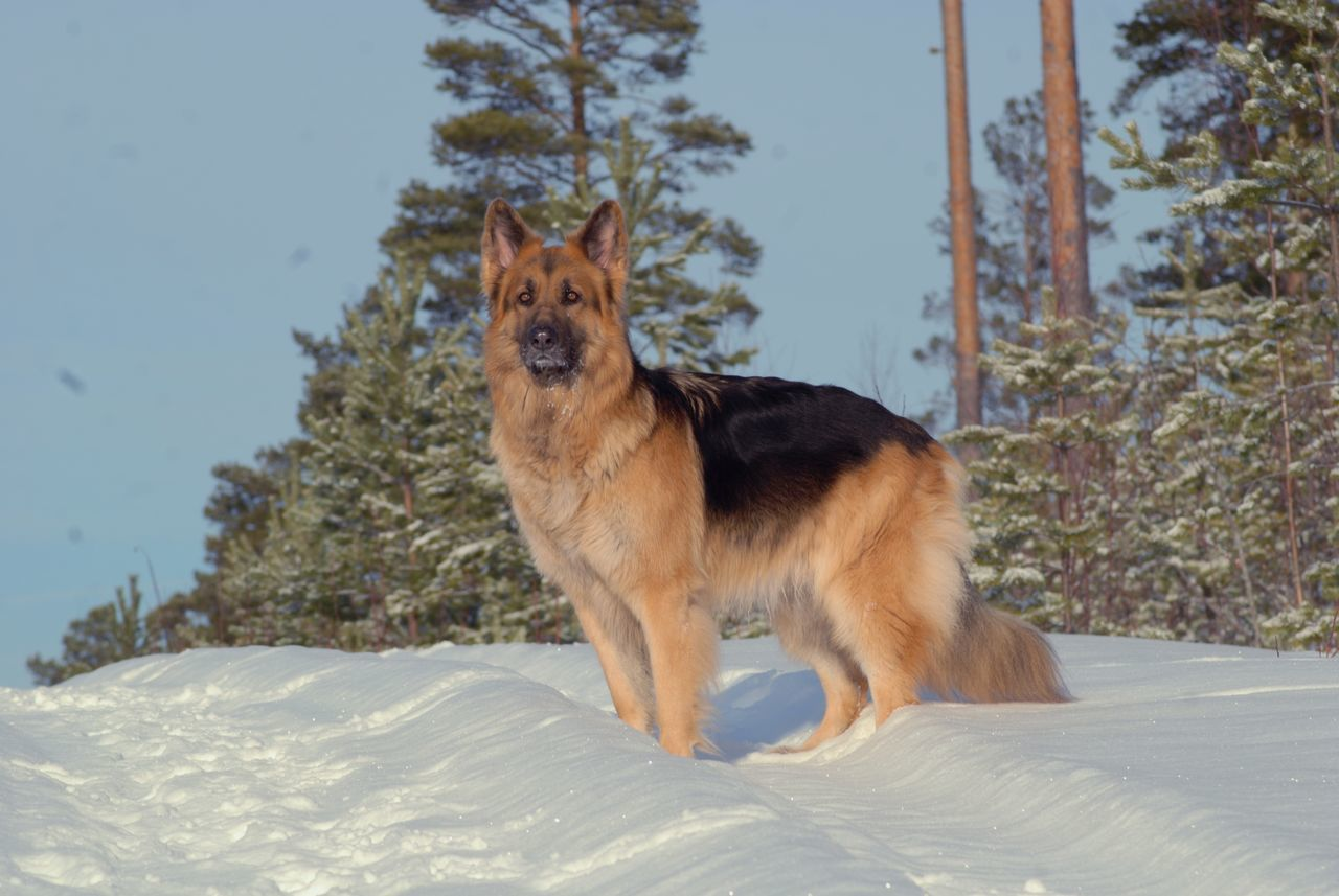 Beautiful stock photos of german shepherd, Animal Themes, Canine, Carnivora, Cold Temperature