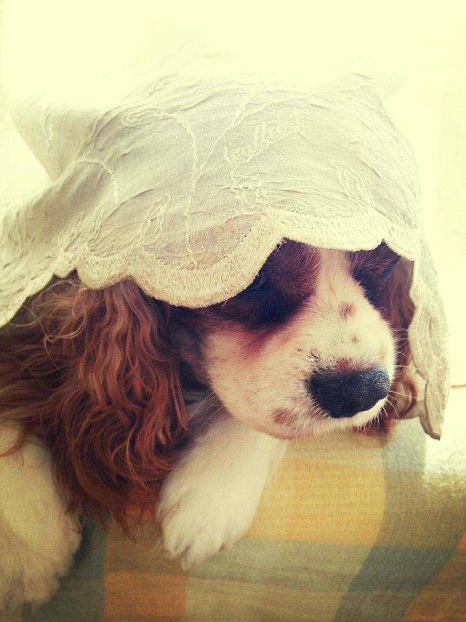 My Dog Cavalier King Charles Spaniel Hide And Seek I Found You