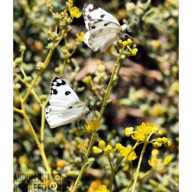 صورة فراشة حشرة تصويري  تركيز فوكس focus السعودية ksa Saudi nature زهره زهور flowers flower plant plants