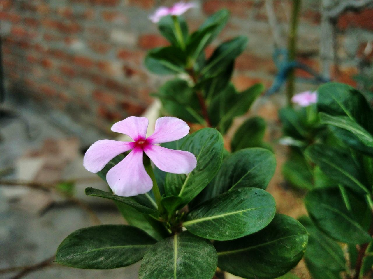 Flower Close-up Freshness Pink Color Flower Head No People Beauty In Nature Indianphotograhers Oneplus2 Periwinkle