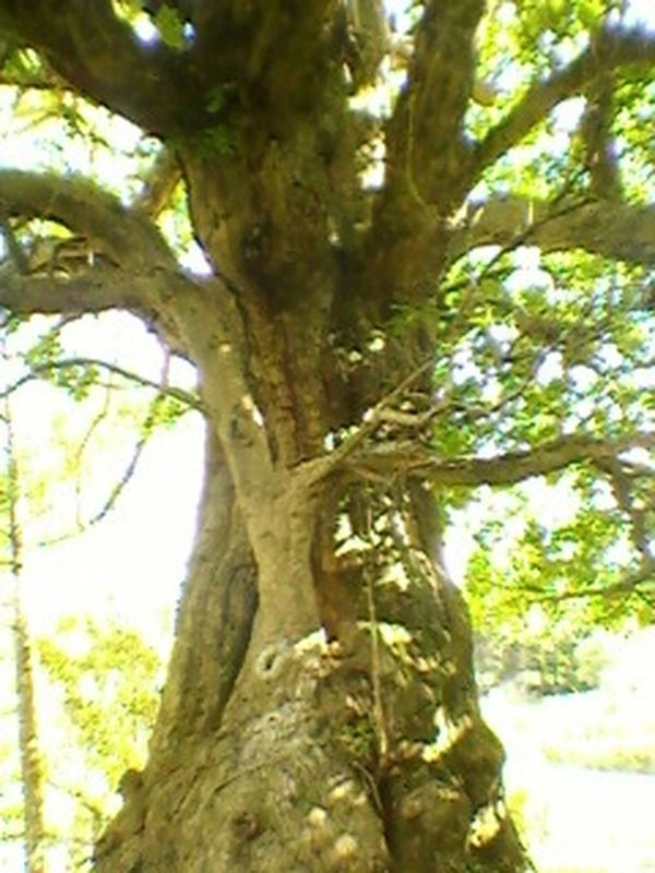 Spooky old tree making chirring sounds Hugging A Tree Enjoying Life mysterious Nature