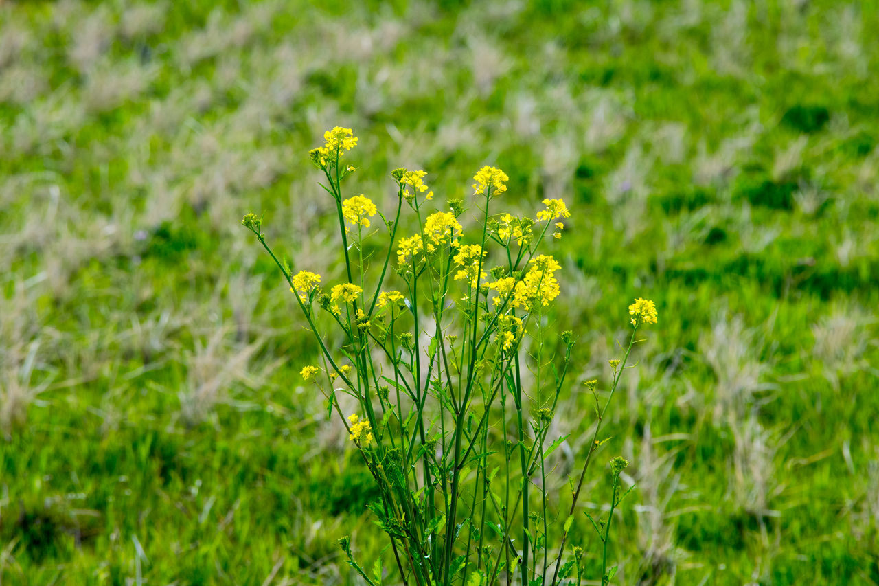 flower, yellow, field, nature, growth, plant, beauty in nature, green color, fragility, springtime, oilseed rape, grass, blooming, blossom, freshness, mustard plant, outdoors, day, no people, flower head, close-up