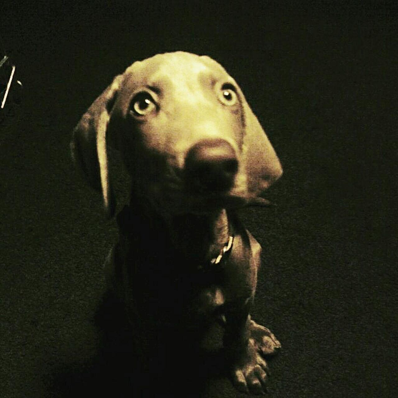 Weimaraner Puppy Looking At Camera