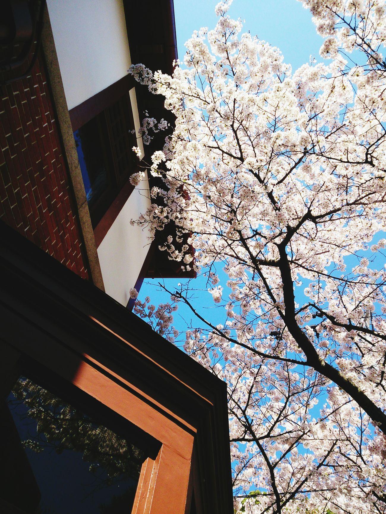 このまま好きでいていいですか…?Cherry Blossoms Nature お花見♬ Sakura
