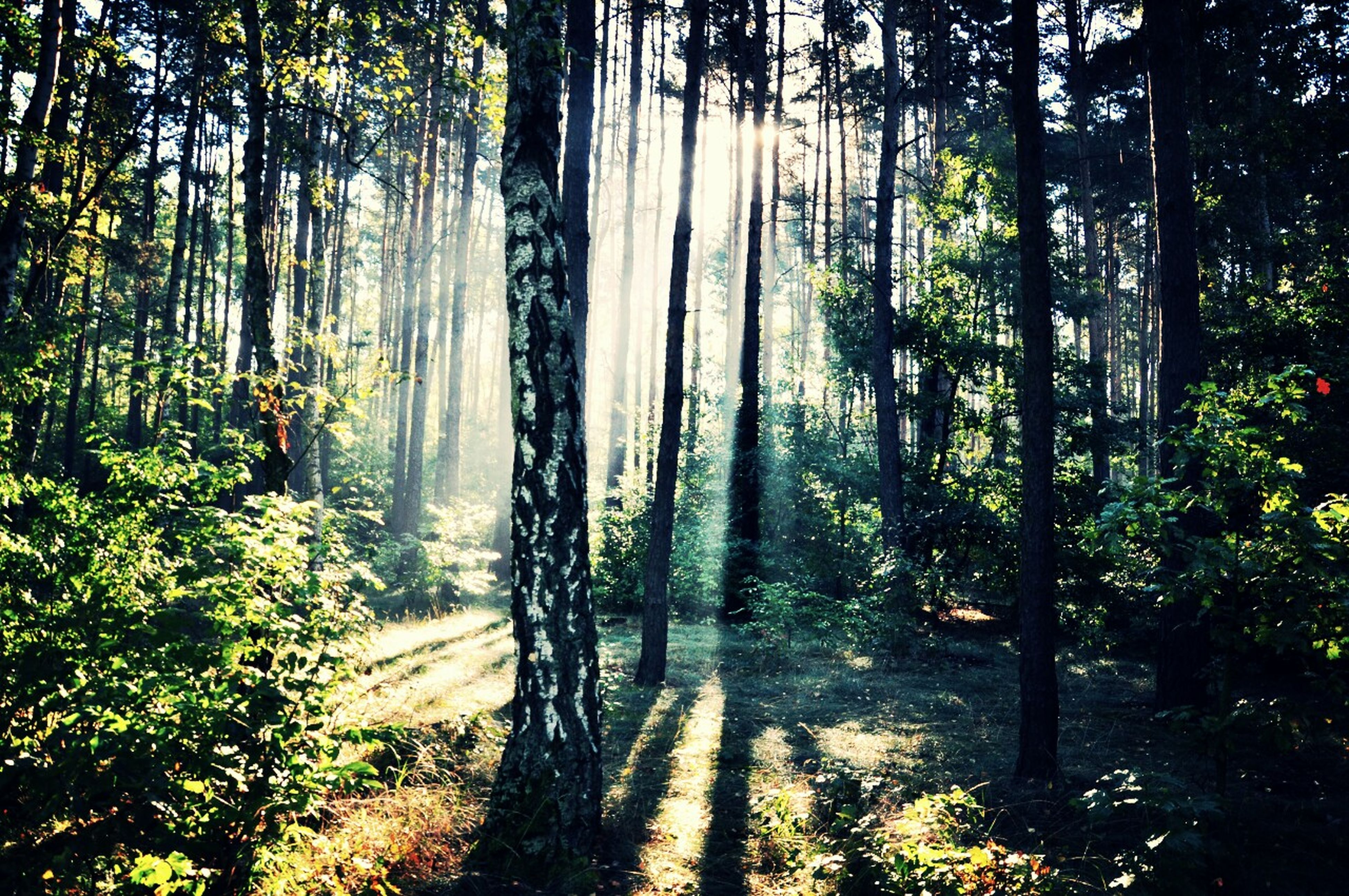 tree, forest, tranquility, tree trunk, tranquil scene, growth, woodland, nature, beauty in nature, scenics, sunlight, non-urban scene, branch, landscape, idyllic, shadow, sunbeam, day, outdoors, no people