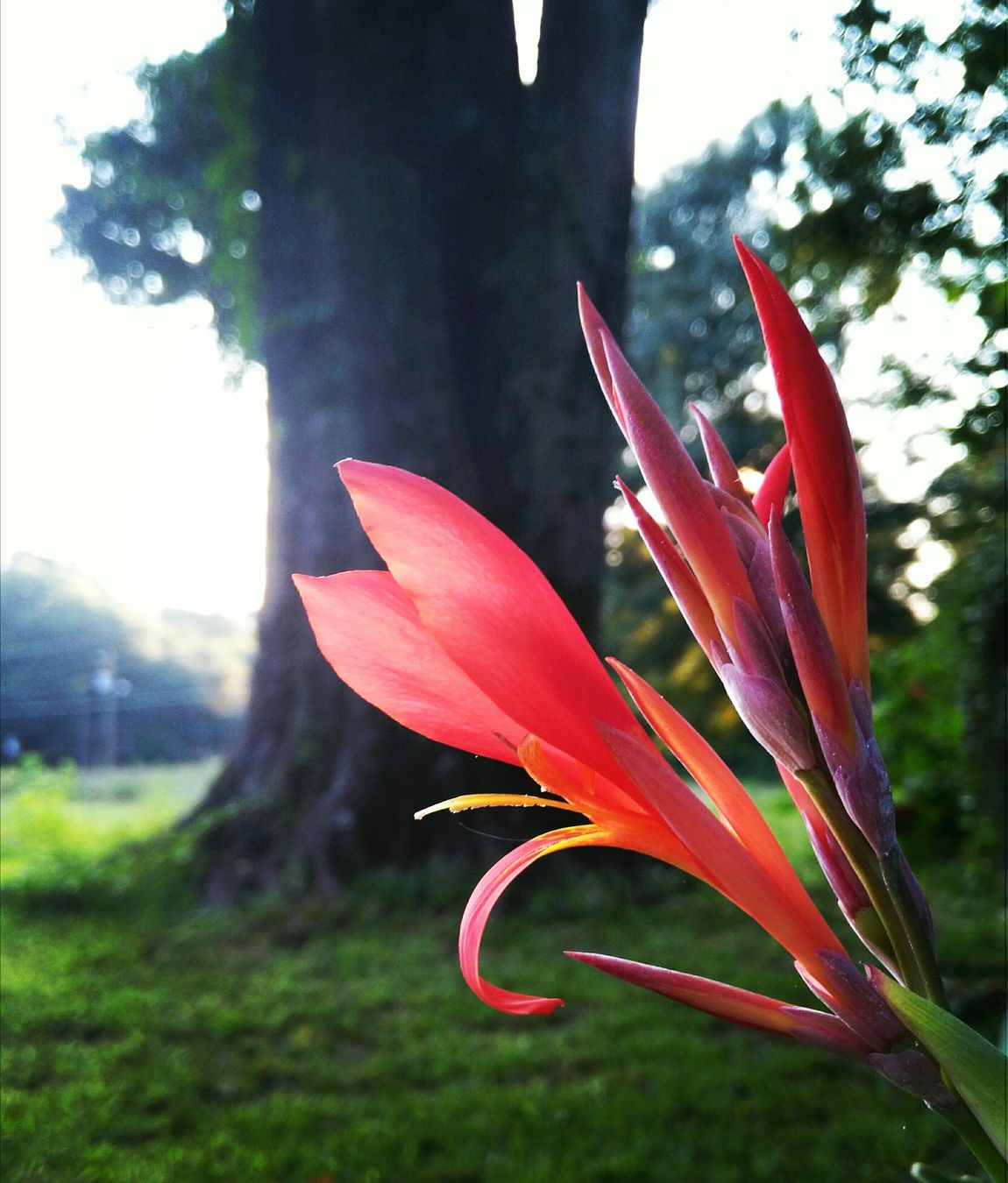 Grass Beauty In Nature Fragility Freshness Sky Tree No People Close-up Flower Plant Nature Petal Outdoors Growth Flower Head Day Canna Canna Lily Not A Lily Ginger Red Coral Colored Neon Life
