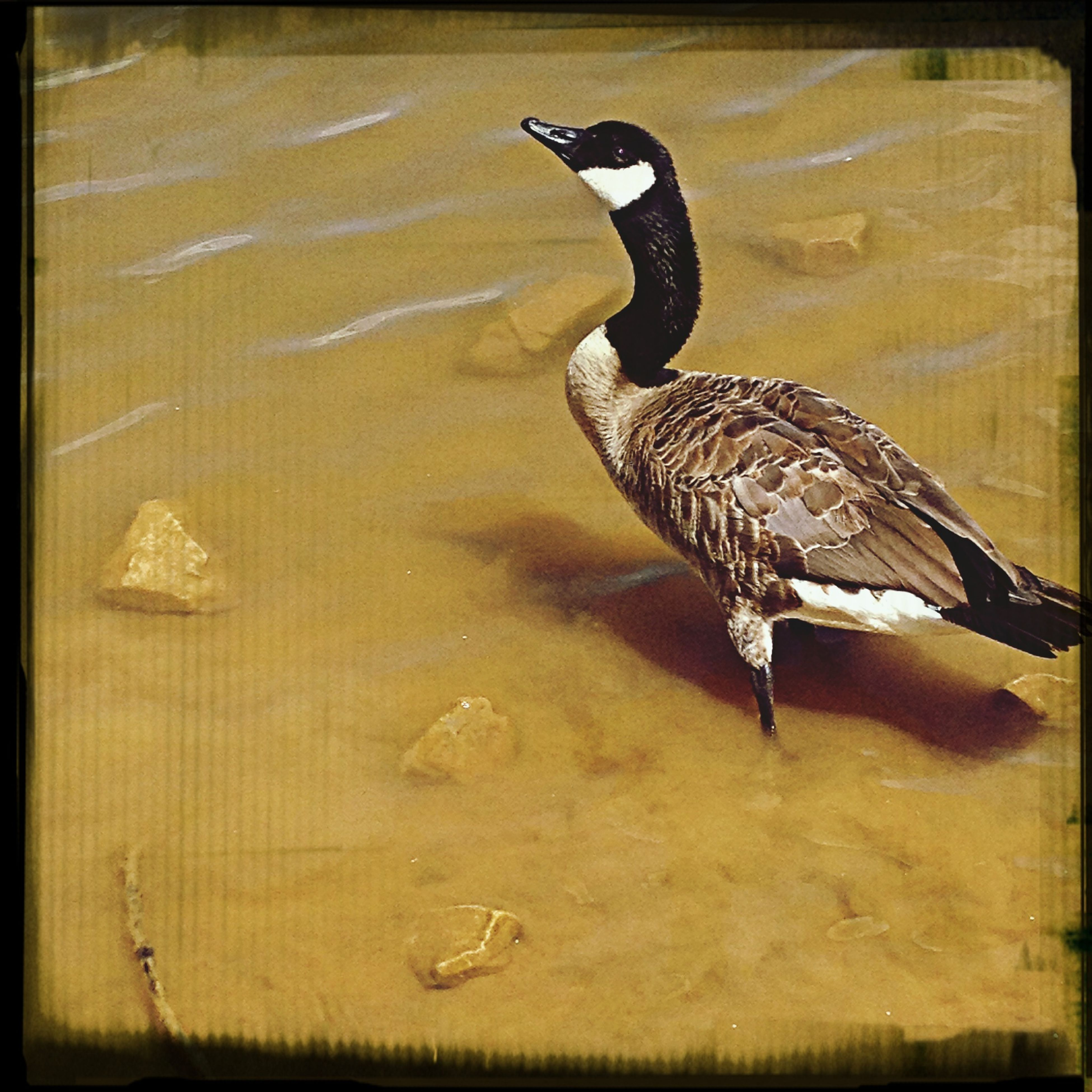 animal themes, animals in the wild, bird, wildlife, one animal, water, transfer print, lake, auto post production filter, full length, side view, duck, beak, high angle view, nature, zoology, day, outdoors, no people, vertebrate