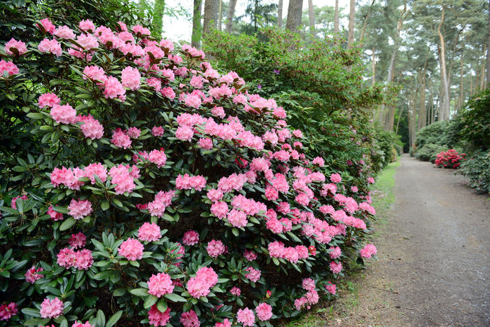 pink Rhododendron bush bloom in springtime. path leading through park. Day Flower Footpath Freshness Garden Green Nature No People Outdoors Park Park - Man Made Space Path Pink Pink Color Plant Red Rhododendron Rhododendron Rhododendron Blossoms Rhododendronblossoms Rhododendroninbloom Rhododendrons Springtime Tree