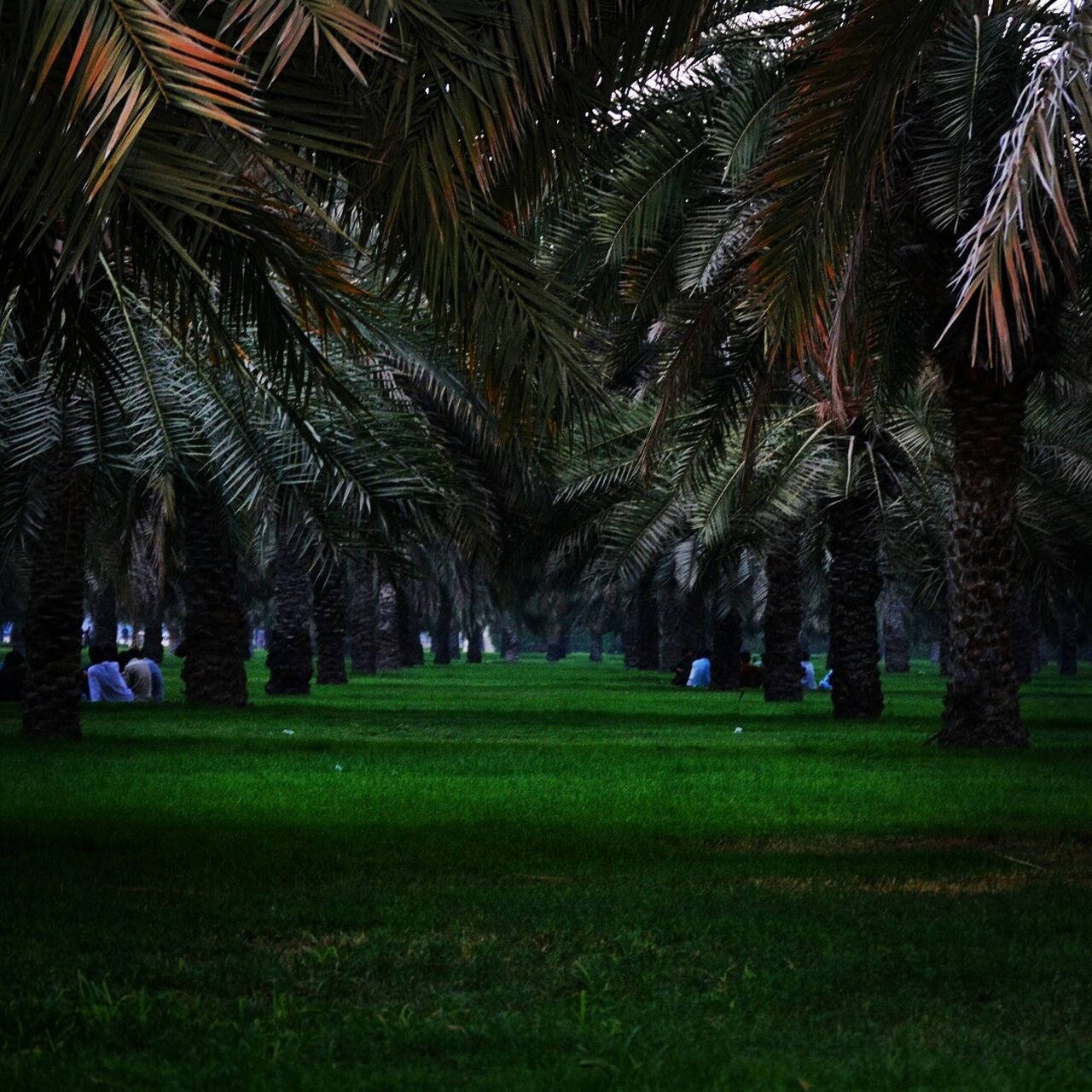 palm tree, grass, tree, growth, nature, green color, tranquility, beauty in nature, outdoors, night, no people