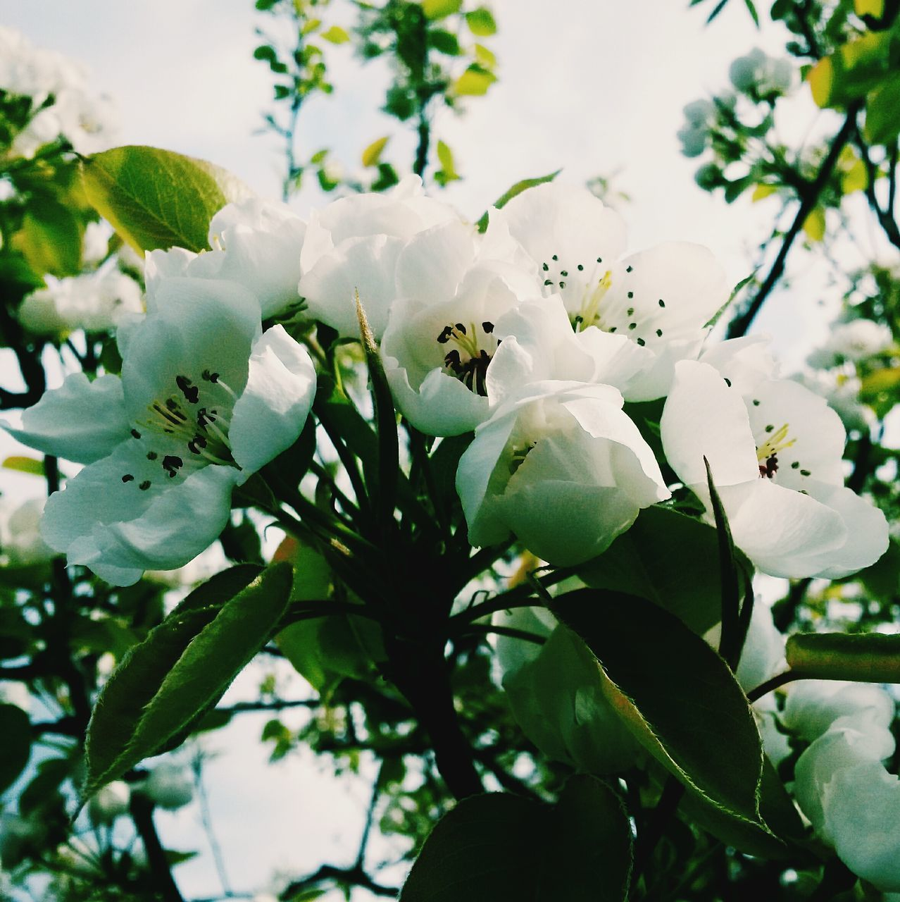Close-Up Of White Cherry Blossoms Blooming Outdoors