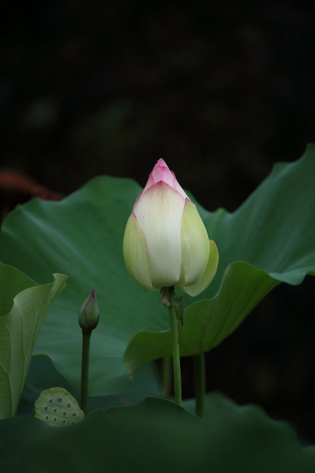Cricket on lotus bud! Flower Lotus Bud Crickets Cricket Lover Cricket Insect Nature Flowers, Nature And Beauty Fine Art Still Life Beautiful Flowers