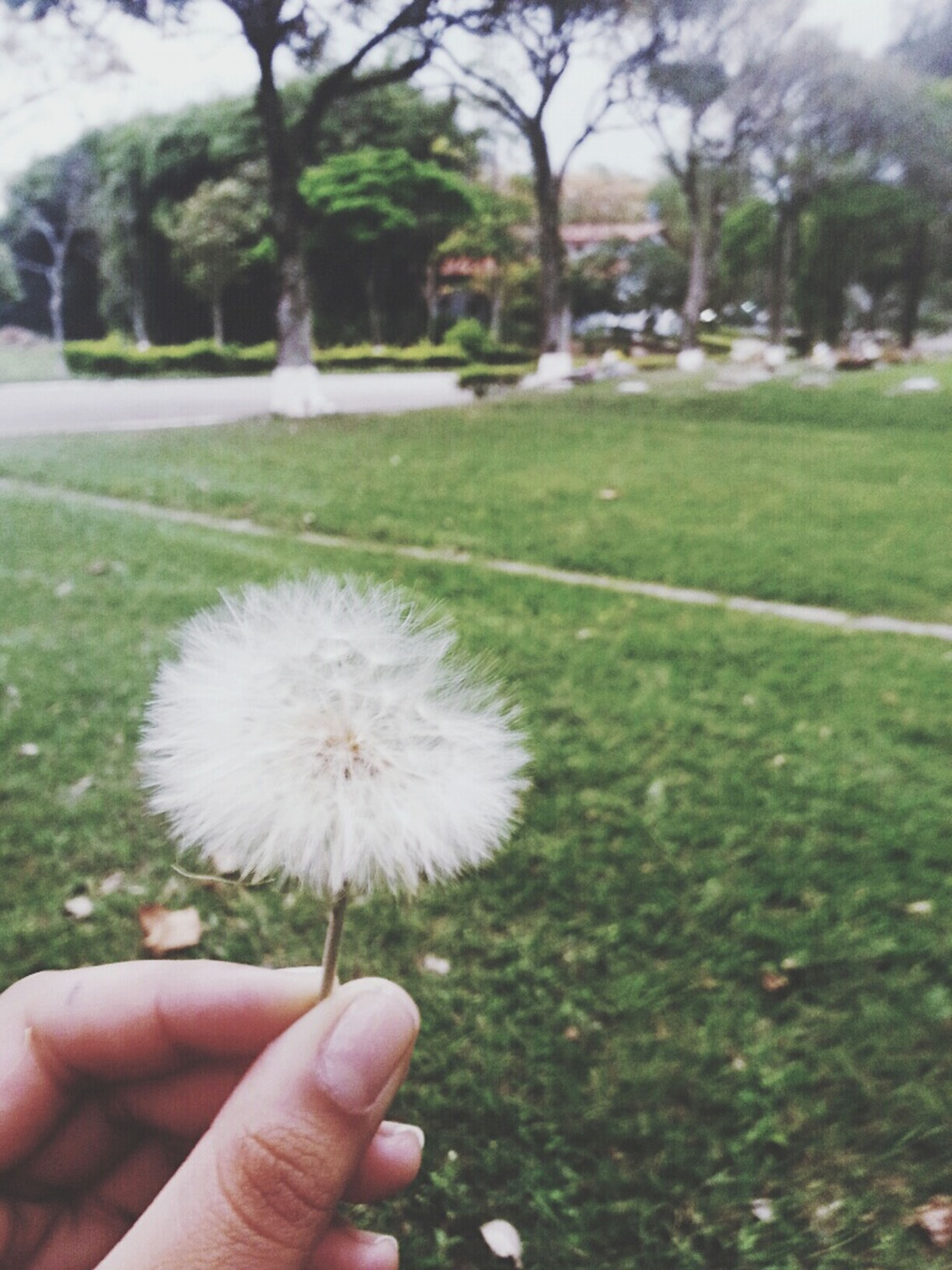 person, holding, part of, cropped, dandelion, flower, unrecognizable person, human finger, focus on foreground, white color, freshness, personal perspective, fragility, close-up, grass, nature, single flower