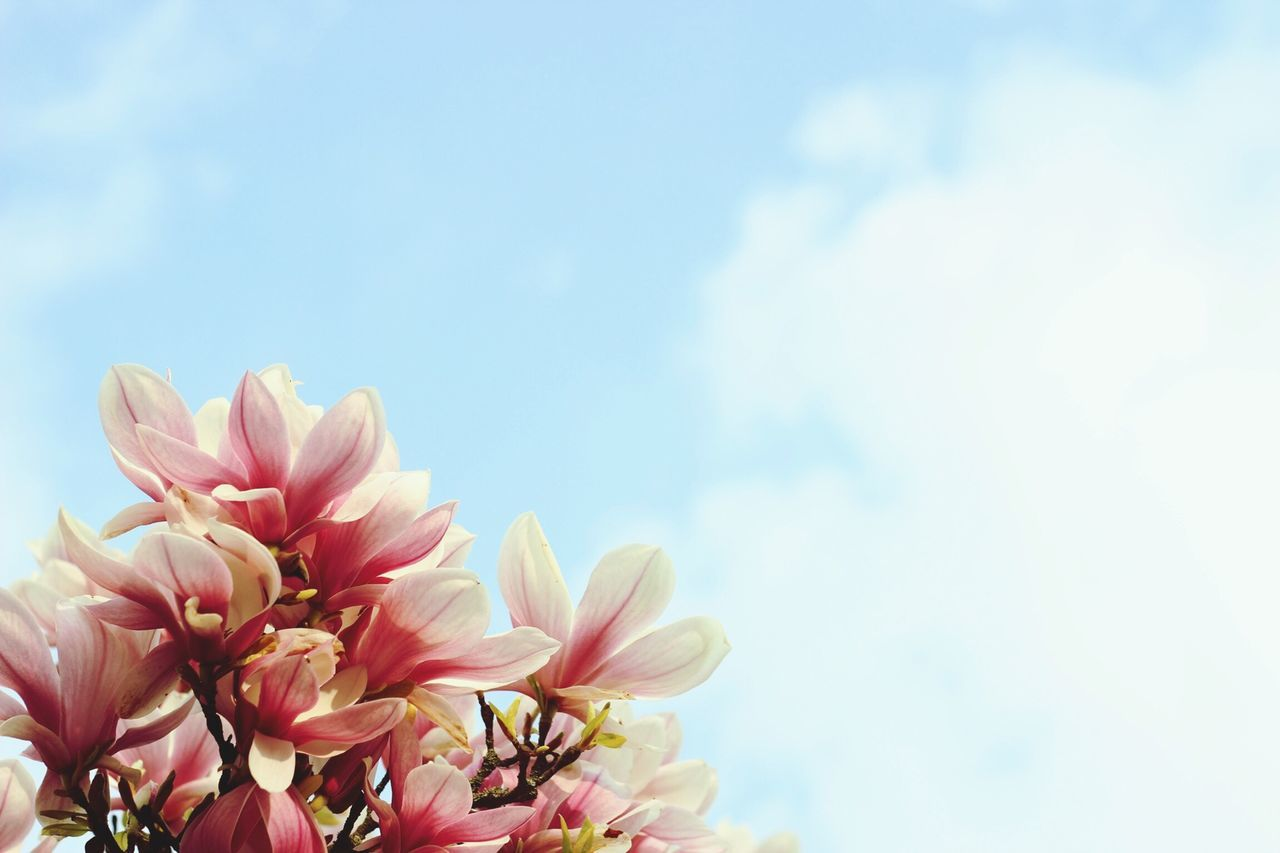 Beautiful stock photos of magnolia, Abundance, Beauty In Nature, Blossom, Botany
